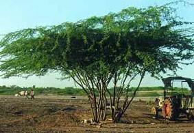 Tree Canopy of Prosopis juliflora
